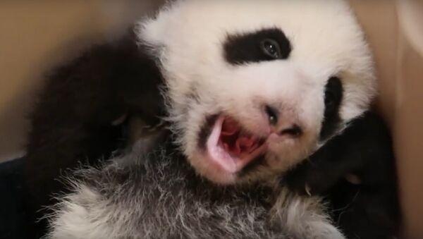 Сонная панда