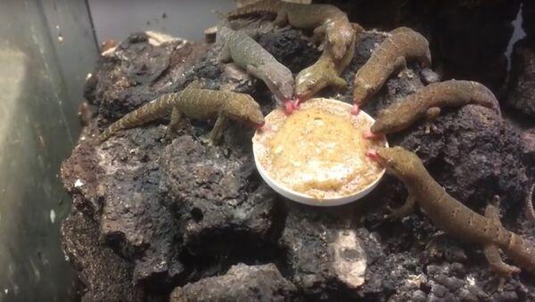 Завтрак гекконов