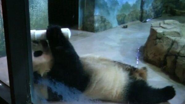 Детеныш панды принимает гостей