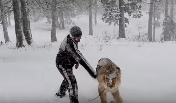 Поваляться в снегу со львом – бесценно