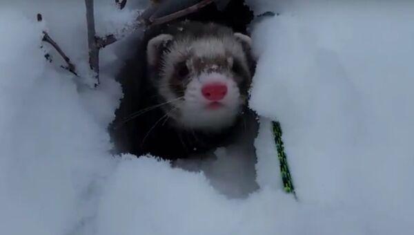Хорек в снегу