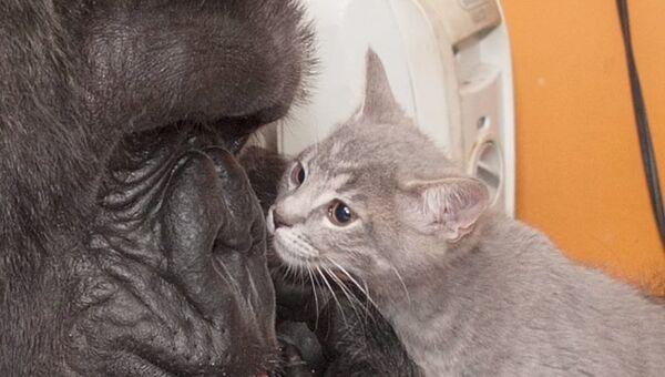 Материнская любовь гориллы Коко