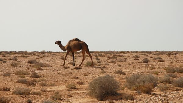 Верблюд в Западной Сахаре