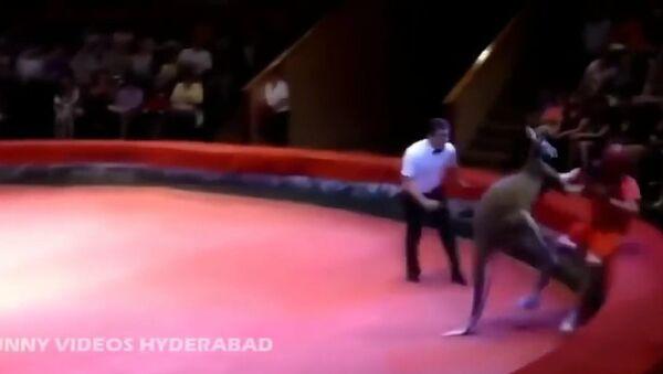 Драка кенгуру и человека