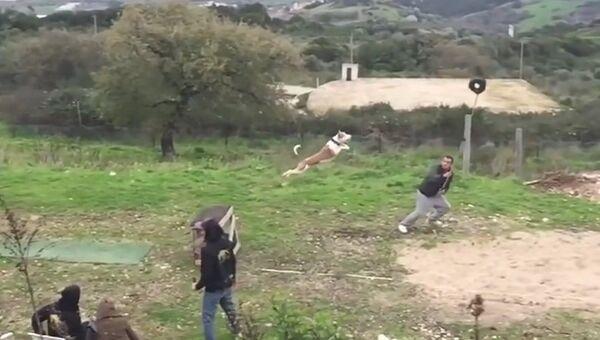 Прыжки собак в длину