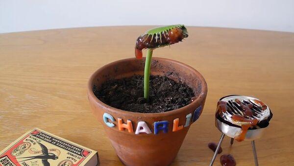 Барбекю для Чарли – венериной мухоловки