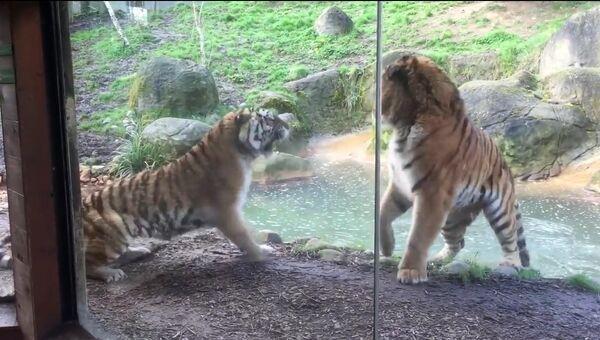 Схватка тигров в зоопарке Дублина