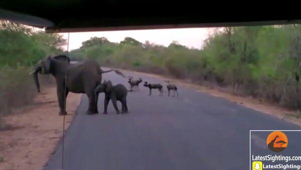 Как слониха прогнала диких собак