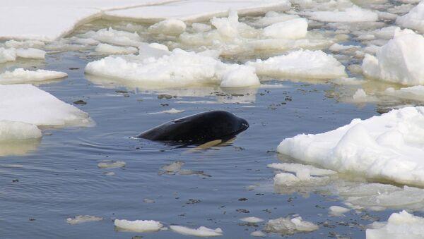 Одна из четырех косаток, зажатых льдинами в Охотском море на востоке Сахалина. Архивное фото