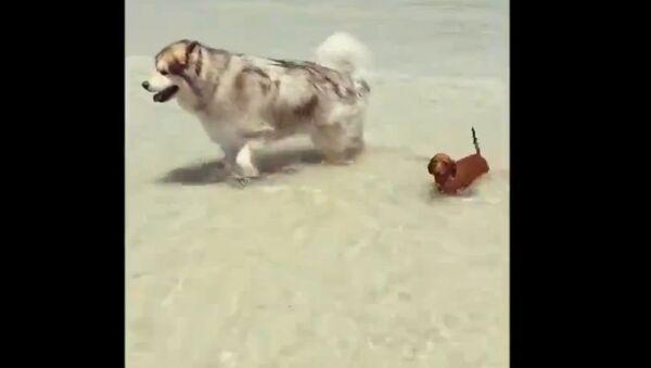 Маламут на пляже