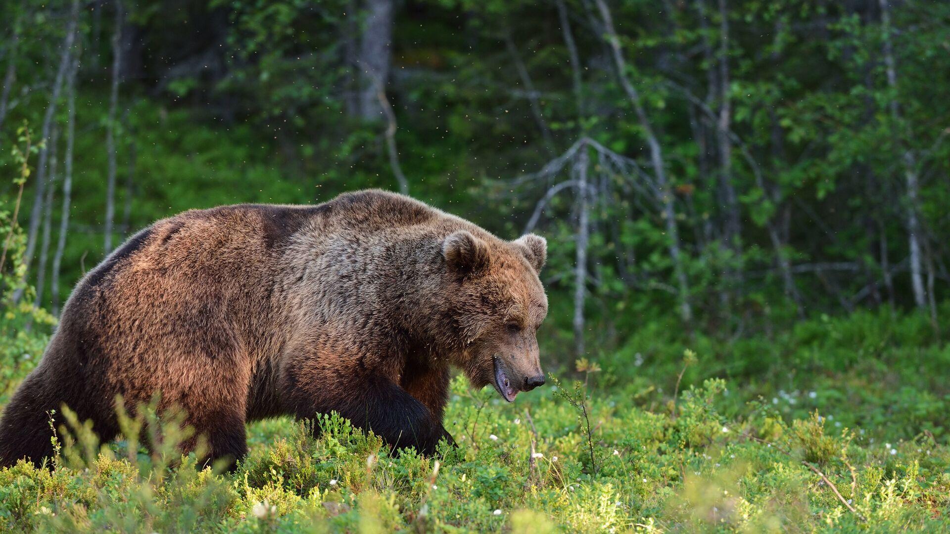 Бурый медведь - РИА Новости, 1920, 22.06.2021
