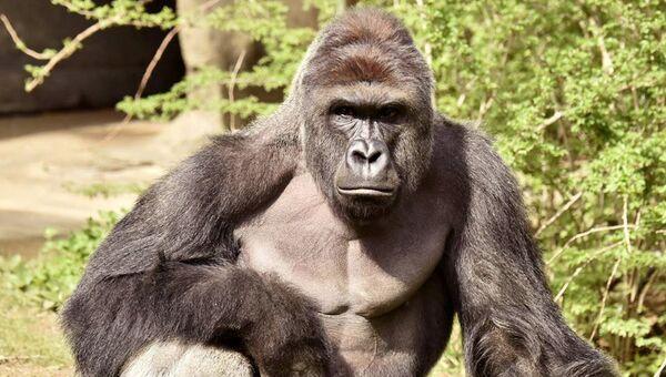 Самец гориллы по кличке Харамбе в зоопарке Цинциннати, США