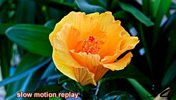 Как распускается цветок гибискуса