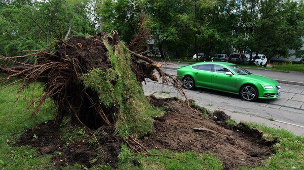 Выкорчеванное с корнем дерево в результате сильного урагана в Москве