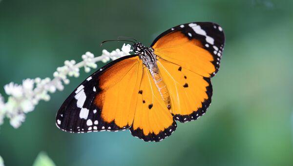 Данаида-хризиппа, африканская бабочка-монарх