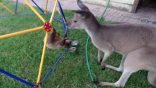 Ленивец пытается подружиться с кенгуру