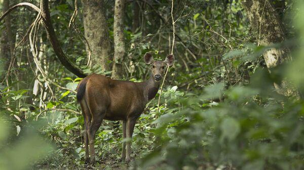 Дикий олень в национальном парке Казиранга