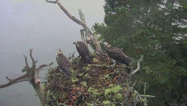 Белоголовый орлан напал на гнездо хищных птиц