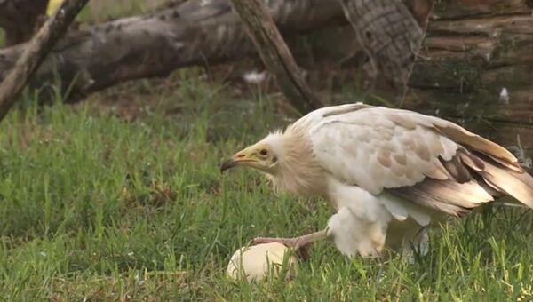 Стервятник догадался, как разбить страусиное яйцо