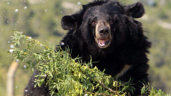 Гималайская медведица. Архивное фото