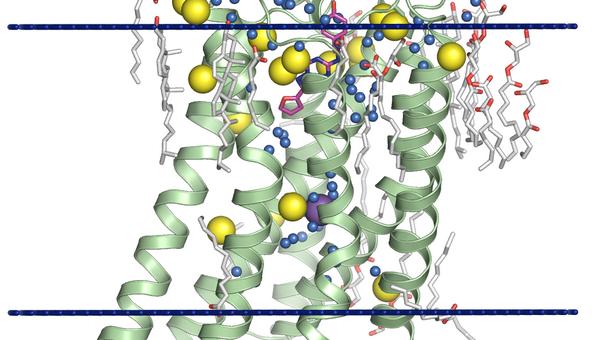 Структура клеточного рецептора, изученного учеными из МФТИ