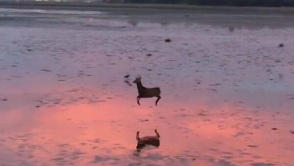 Олень на утренней пробежке