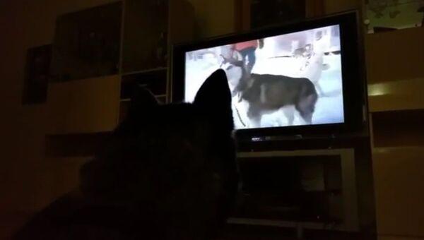 Хаски смотрит кино про собак