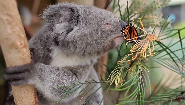 Самое милое видео: коала и бабочка