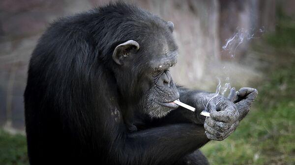 Шимпанзе прикуривает сигарету в зоопарке Пхеньяна, Северная Корея