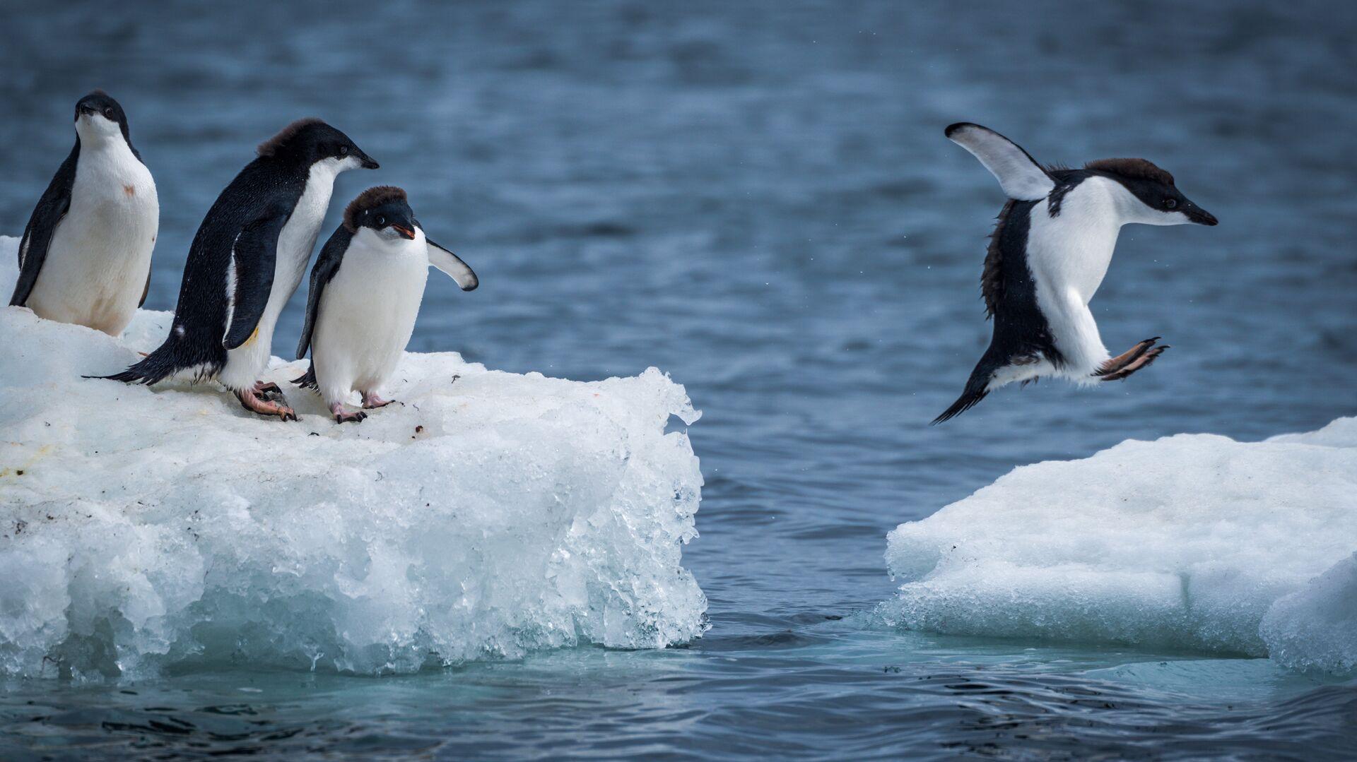Пингвины Адели прыгают между льдинами - РИА Новости, 1920, 28.10.2016