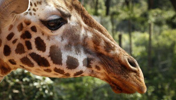 Жираф. Архивное фото