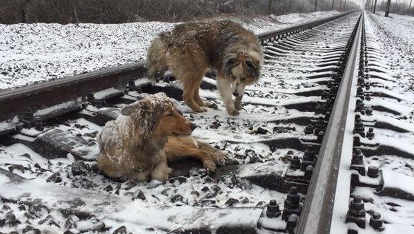 Собаки Панда и Люси на железнодорожных путях