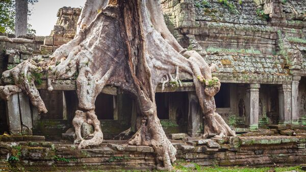 Корни дерева оплетают храм Преа-Кан в Ангкоре, Камбоджа