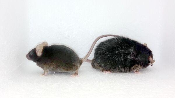 Худая и толстая мышь