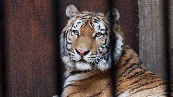 Тигр в китайском зоопарке. Архивное фото