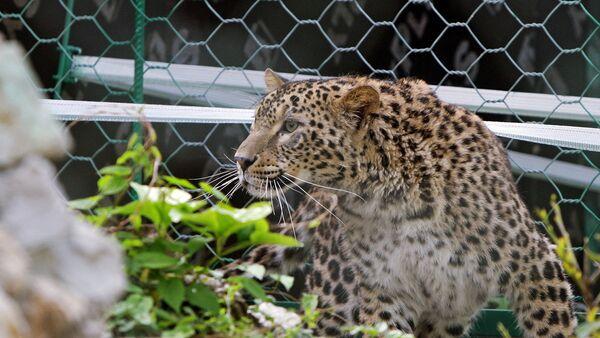 Леопард в Кавказском заповеднике. Архивное фото