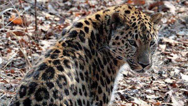 В Приморье установят камеры для отслеживания миграции леопардов