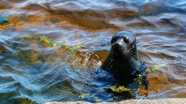 Ладожский нерпенок Крошик в водах Ладожского озера у острова Валаам
