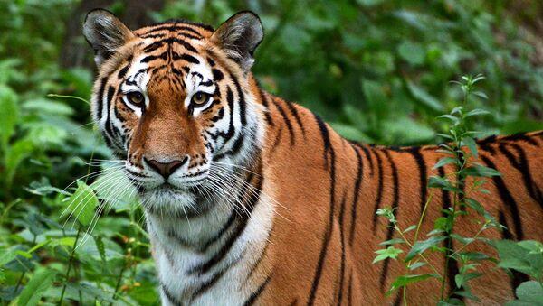 В Бастаке проводятся российско-китайские исследования амурского тигра