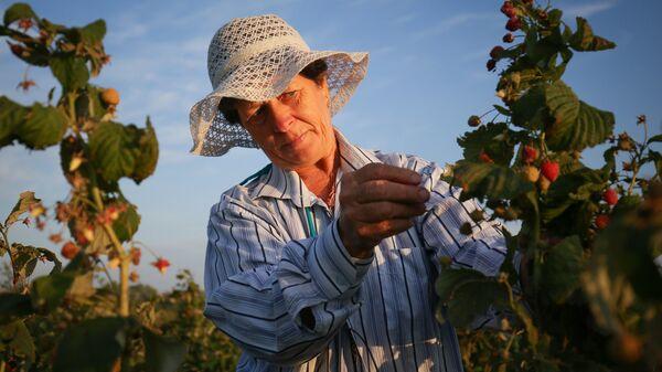 Сбор урожая малины на полях ЛПХ Кубанская ягодка в Краснодарском крае. 16 августа 2017