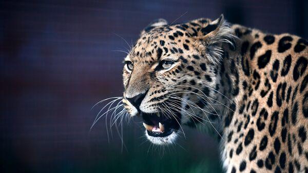 В парке Красная Пресня пройдет День леопарда
