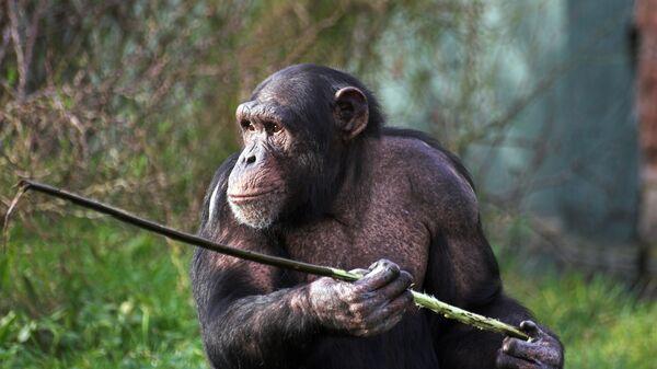 Шимпанзе держит палку