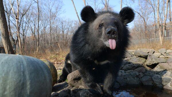 Детеныш гималайского медведя в вольере Приморского сафари-парка