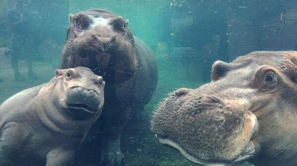 Детеныш бегемота Фиона вместе со своими родителями в зоопарке Цинциннати, США