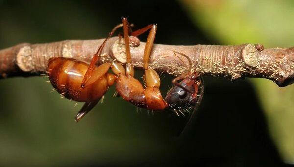 Грибок Ophiocordyceps превращает муравьев в зомби, напрямую управляя работой их мускулов