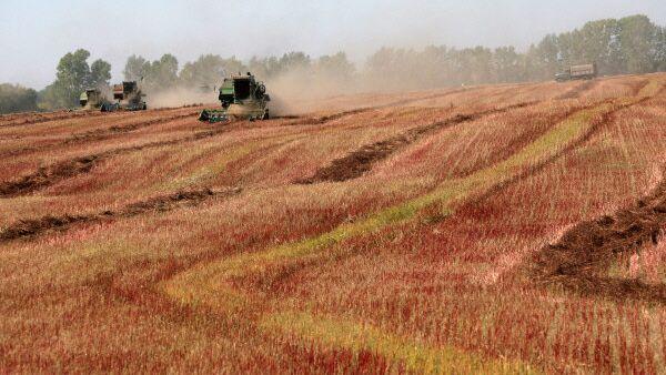 Уборка урожая гречихи на полях Алтайского края