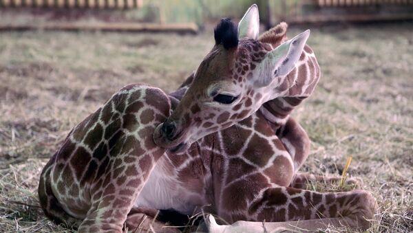 Детёныш самки Ивы в Калининградском зоопарке. Архивное фото