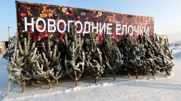 Заготовка новогодних елей в Новосибирской области