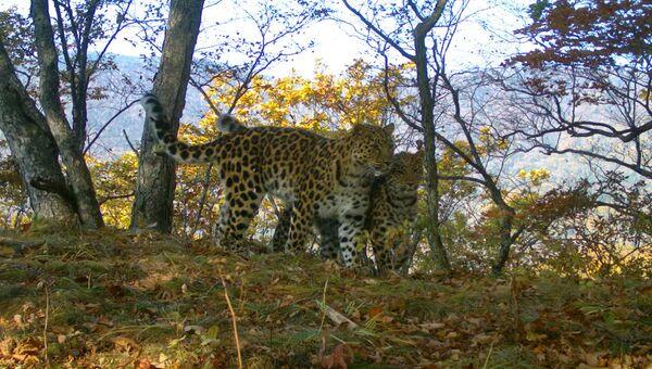 Дальневосточные леопарды победили в двух номинациях конкурса Фотоловушка-2017