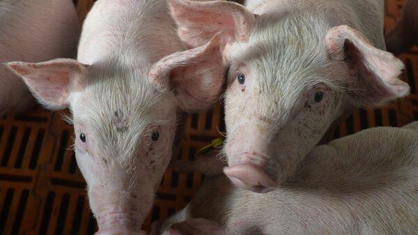 Площадка доращивания поросят в свинокомплексе